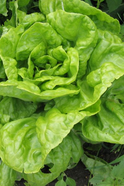 Growing Greens – Lettuce, Mesclun and More