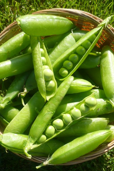 When to Start Pea Seeds